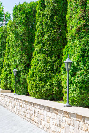 Thuja hedge in landscape design. Evergreen coniferous plant