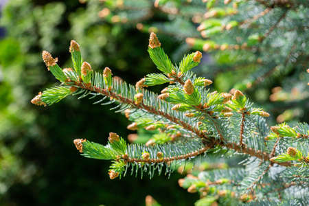 Young shoots of pine needles of a blue spruce. Picea pungens. May sunny day
