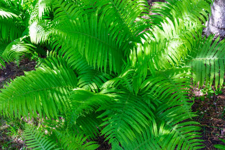 Fern leaves in the sunlight on a spring day