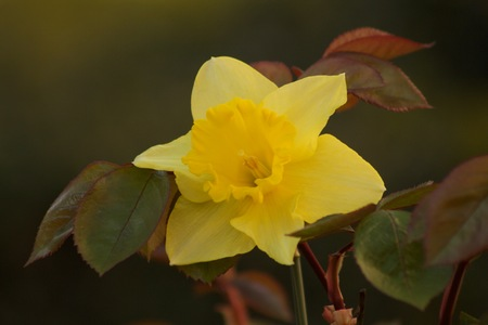 Beautiful Narcissus between leaves of roses