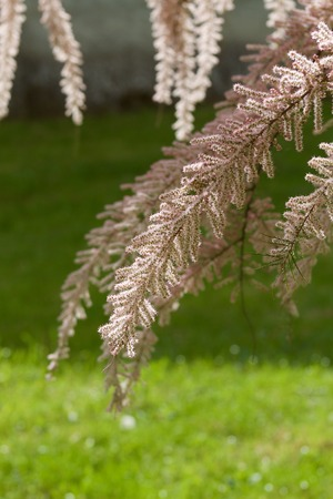 drooping: Drooping branches of tamarisk