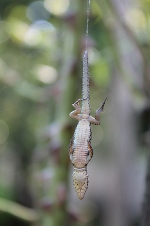 caught: Lizard caught in a spider web