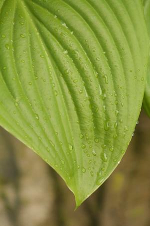 wheather: raindrops on Hosta leaf Stock Photo
