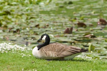 squatting: Canada goose squatting on the lawn Stock Photo
