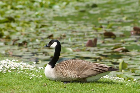 goose head: canada goose, branta canadensis Stock Photo