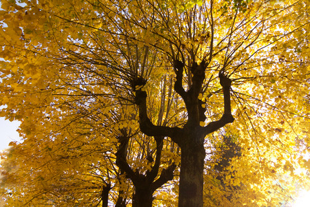 autumn splendor: autumn landscape with branches of linden trees full of yellow leaves