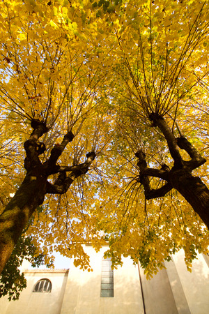 beautiful  linden trees in fall Stock Photo