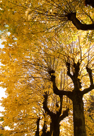 lime trees in autumn, vertical
