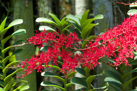 red dragon: Renanthera Kalsom, a beautiful red orchid, red dragon