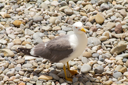small seagull on  a stones beach background