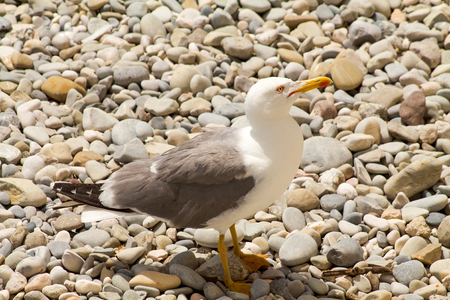 small seagull walking on the stones
