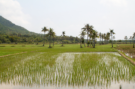 rice fields in Java island Stock Photo