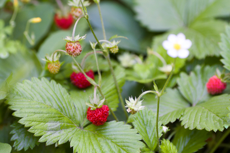 red wild strawberries with green leaves in the garden