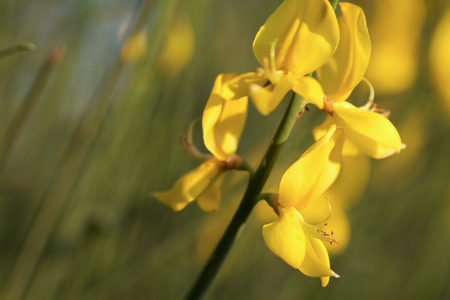 Yellow broom flower close up in the light of sunset stock photo stock photo yellow broom flower close up in the light of sunset mightylinksfo