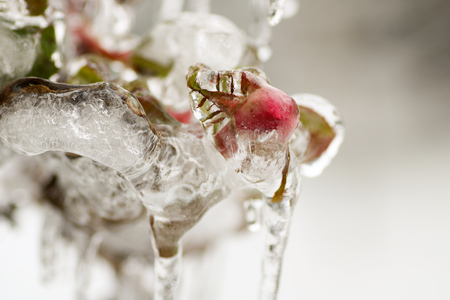 climbing rose buds frozen on the plant in the garden for gelicidio in north of Italy Stock Photo