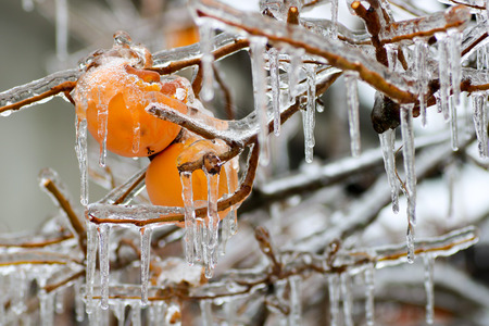 ice covered persimmons on the branch of the tree in winter