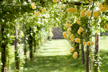 pergola of yellow banksiae climbing roses and pathway, selective focus