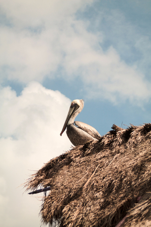 pelican perched on a thatched roof, Mexico Banque d'images - 95673911