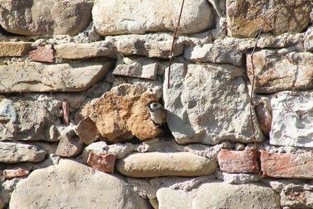 sparrow between two stones of a wall in which he built the nest