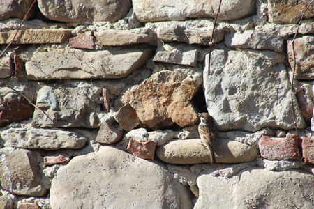 common sparrow built a nest between two stones of an old wall Stock Photo