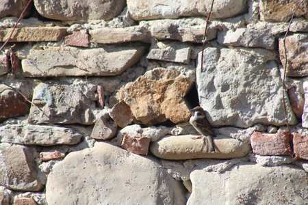 common sparrow at the entrance of his feature new nest between two old stones