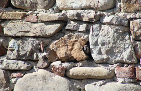 sparrow looks out from a slit between two old stones where he is building the nest