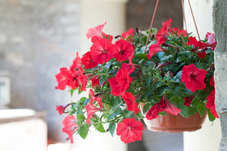 basket of red surfinia in bloom hanging under a porch in summer