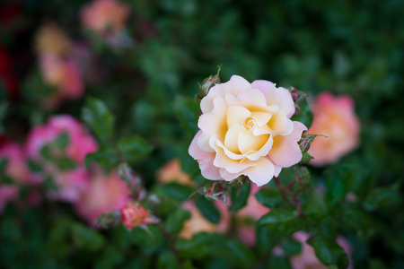 selective focus on a delicate bush rose in bloom