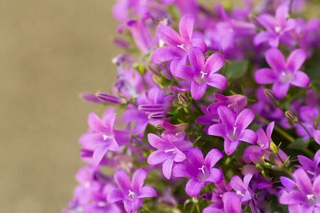 campanula medium in bloom in vibrant color in springtime