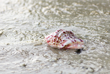 variegate shell wet by the sea on the shore, west papua