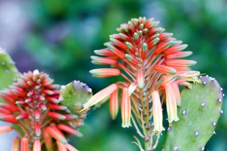 soft focus on a fat plant flower, springtime Stock Photo