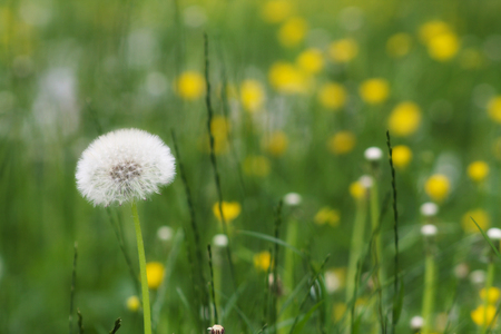 selective focus on a white dandelion in a field  with yellow fllowers in springtime