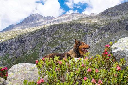 border collie climbing on the adamello valley, Italy