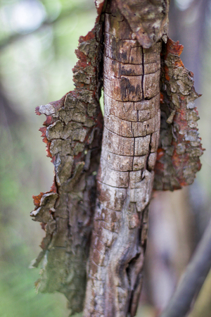 old bark comes off the trunk of a dead tree in the forest