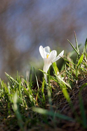white crocus in bloom in  the mountain meadows at sunset