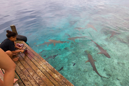 RAJA AMPAT, WEST PAPUA - August 31,  2017: group of sharks near a wooden pier waiting the young girl throw waste of a tuna fish, raja ampata archipelago.