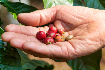 differrent types of coffee beans in man hand, Sulawesi, Indonesia Stock Photo