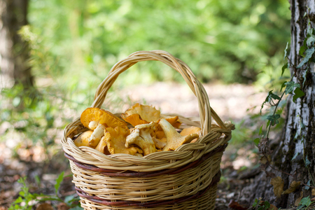 basket of chanterelle mushrooms in the forest near a trunk, bokeh background