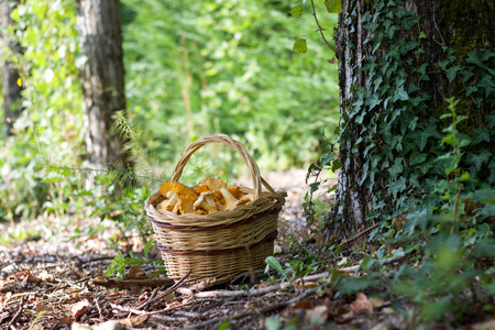 basket of chanterelle mushrooms in the nature near a trunk, copy space