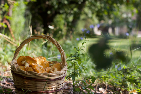 basket of chanterelle mushroomsin the nature, copy space