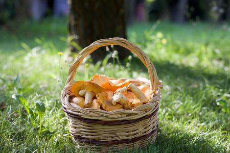 close up of basket of fresh  chanterelle mushrooms on green grass.