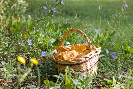 basket of chanterelle mushrooms in a meadow, copy space Stock Photo