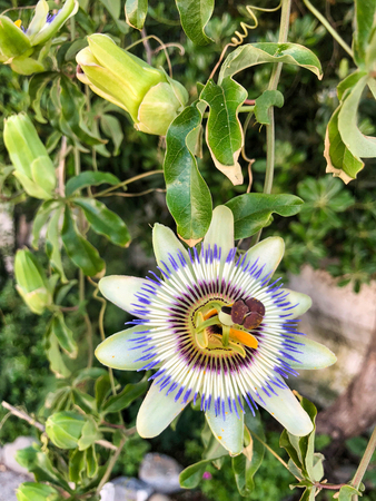 flower and leaves of cerulean passion flower in a summer garden Stock fotó