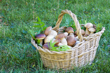 beautiful basket full of porcini mushrooms on green grass 写真素材