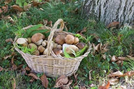 full basket of boletus mushrooms in the woods