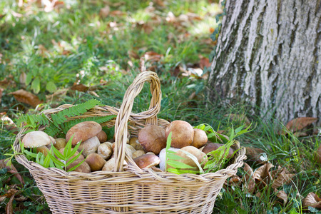 close up of boletus edulis basket in the wood near a trunk