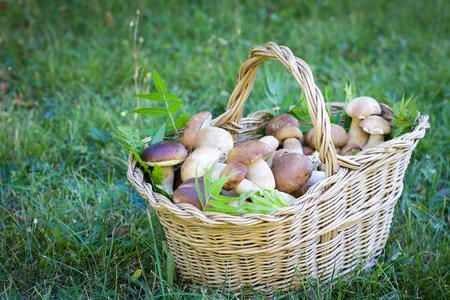 selective focus on boletus mushrooms full  basket on a green field Stock Photo