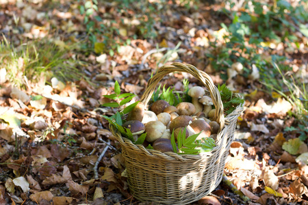 wicker basket of boletus edulis among the leaves of forest