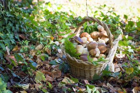basket  full of boletus mushrooms on the dry  leaves of  autumn