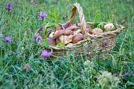 beautiful basket of fresh boletus mushrooms, in the middle of small purple flowers, copy space